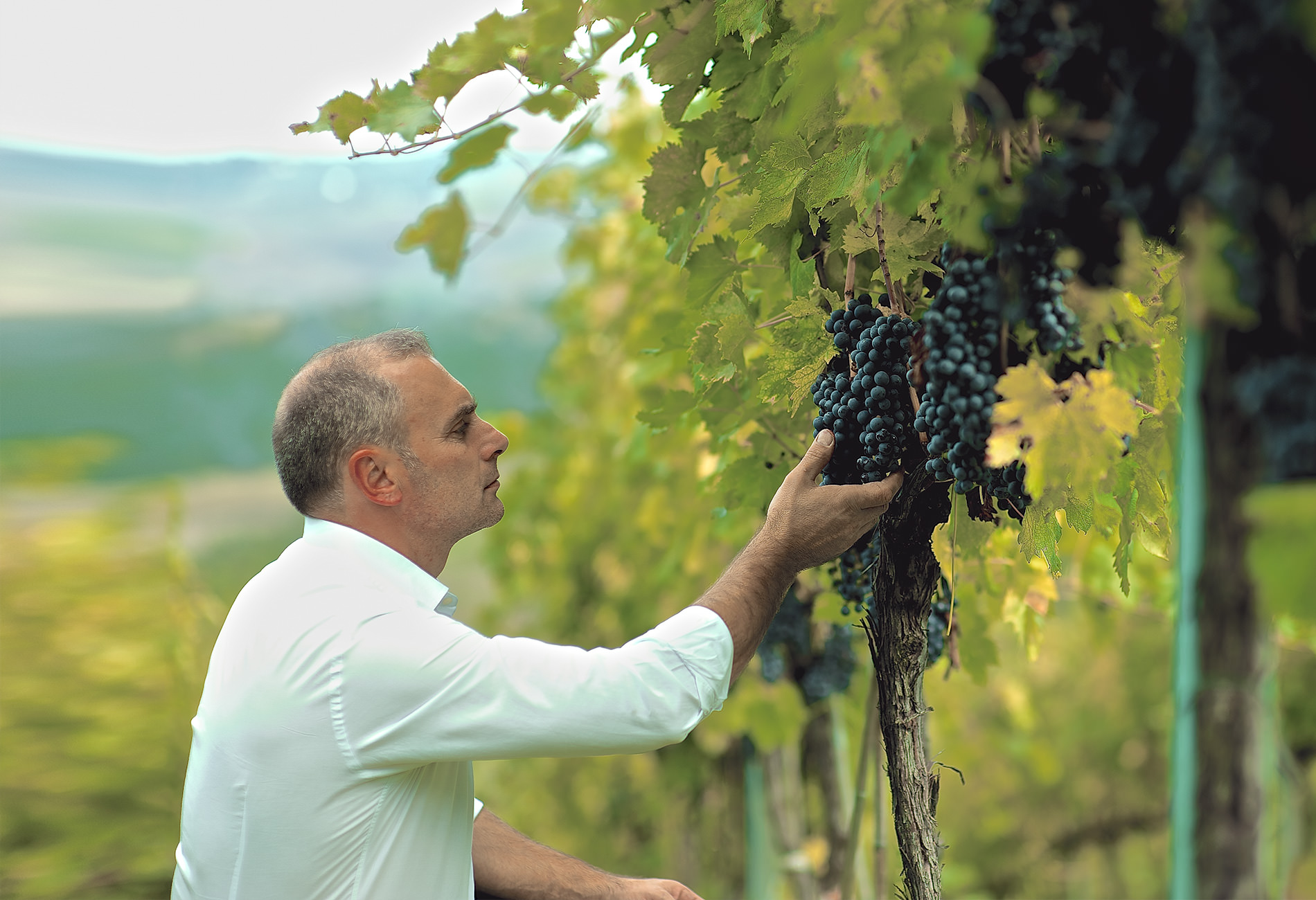 Claudio Cipressi checking the grapes in his Vineyard