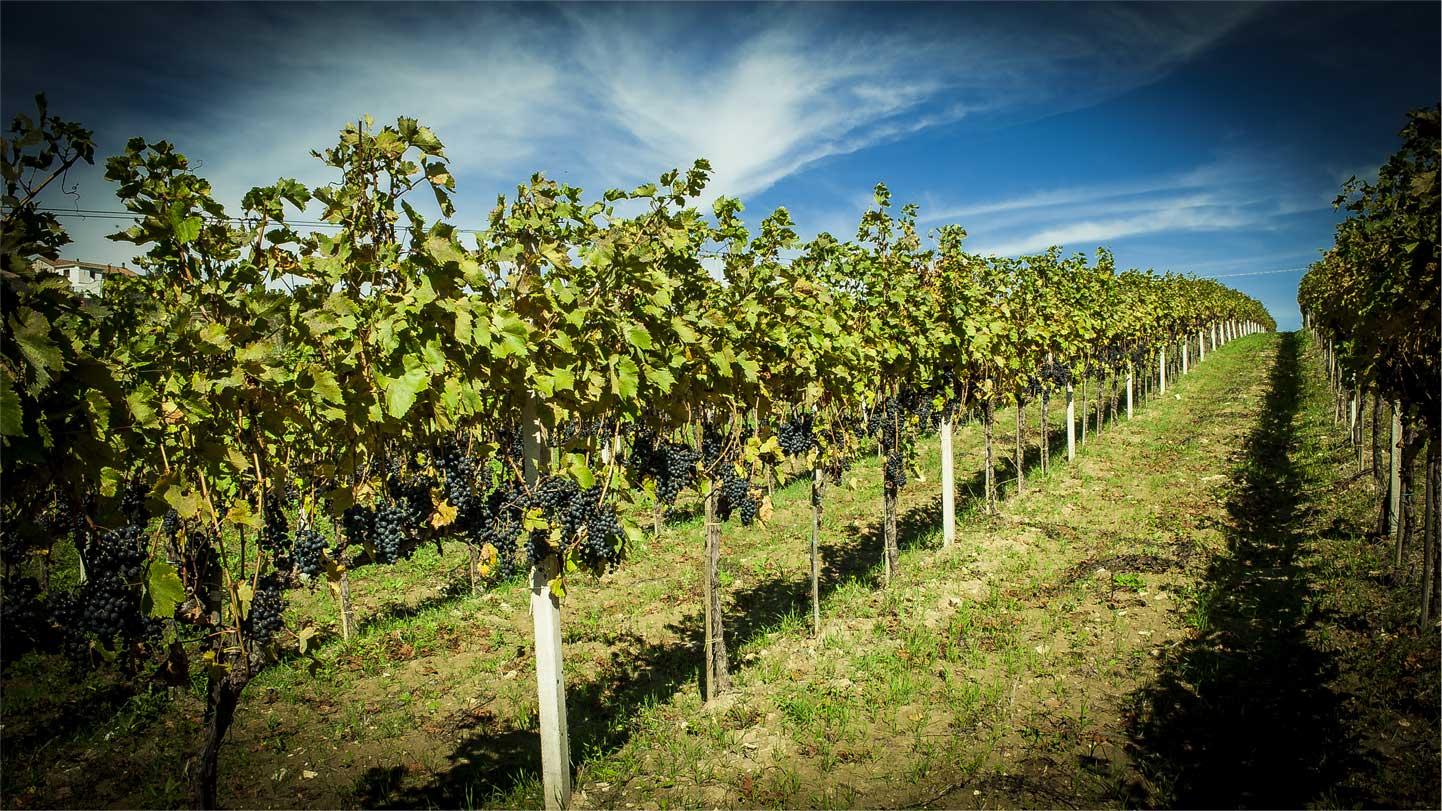 Cianfagna Vineyards